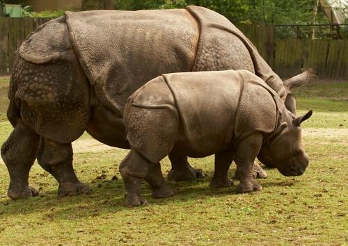 Rinoceronte de Java: dónde vive