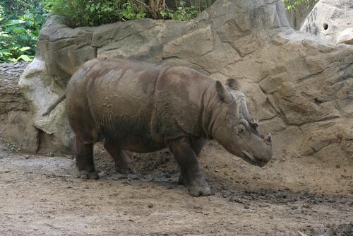 Rinoceronte de Sumatra: características