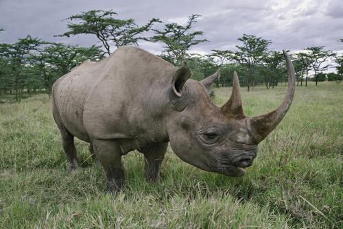 Rinoceronte negro: hábitat