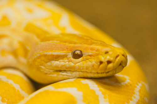 Serpiente amarilla de Feng Shui