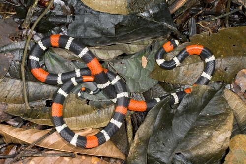 Serpiente de coral amazónica