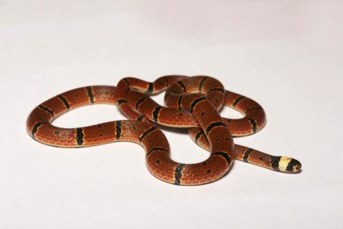 Serpiente de coral MacClelland