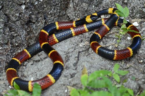 5 serpientes de coral