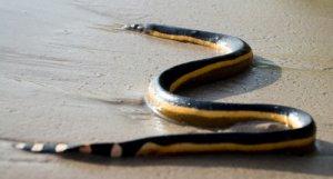 Serpiente marina amarilla (Hydrophis platurus)