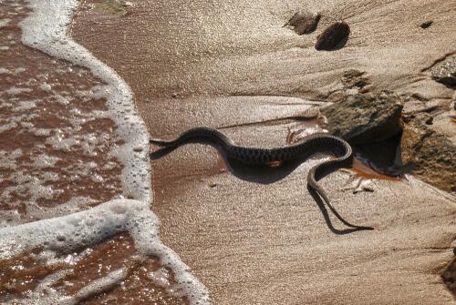 Serpiente marina de cabeza negra