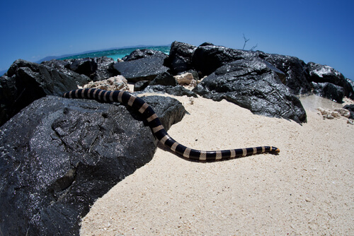 Serpiente marina de labios azules