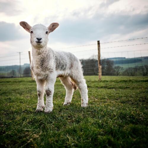 Coccidiosis en corderos y terneros