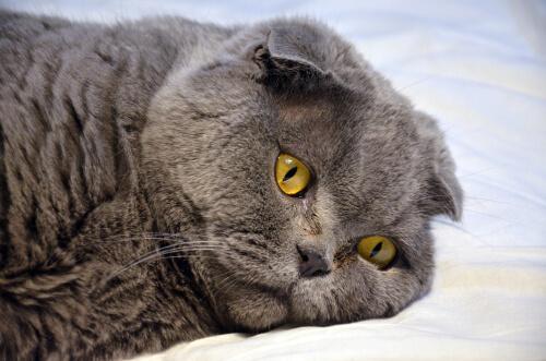 Síntomas de sordera en gatos