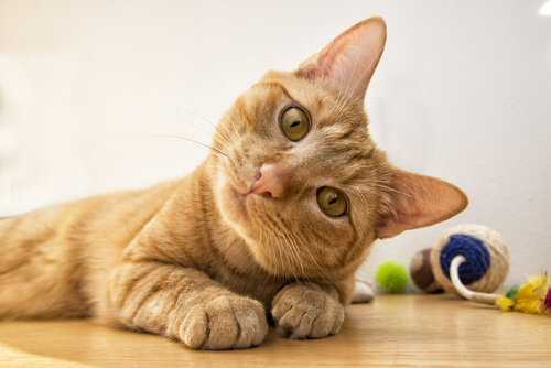 Información sobre la sordera en gatos