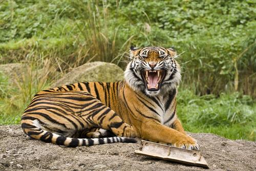 5 subespecies de tigres