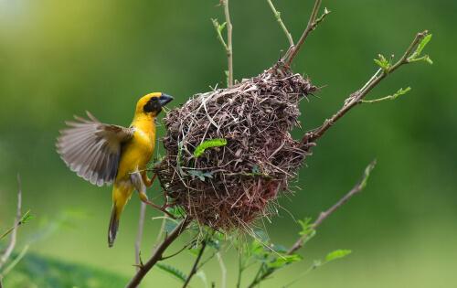 Conoce a los tejedores, unas aves constructoras