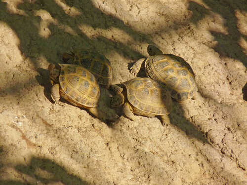 ¿Puedo tener varias tortugas rusas?