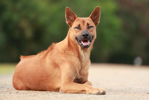 Thai ridgeback dog: carácter