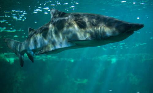 Tiburones de río