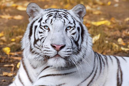 Tigre blanco de Feng Shui