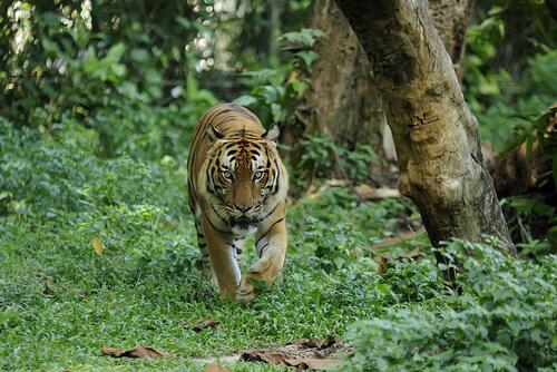 Tigre de Malasia: descripción