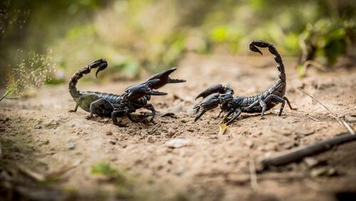 Distintos Tipos De Escorpiones Mis Animales