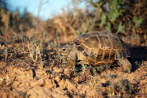 Características de la tortuga de Horsfield