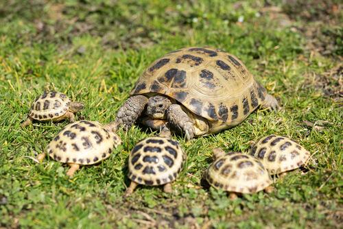 Tortuga de Horsfield: reproducción