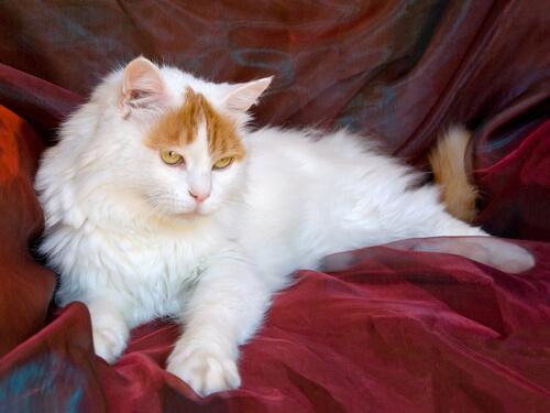Un gato nadador: el Van Turco