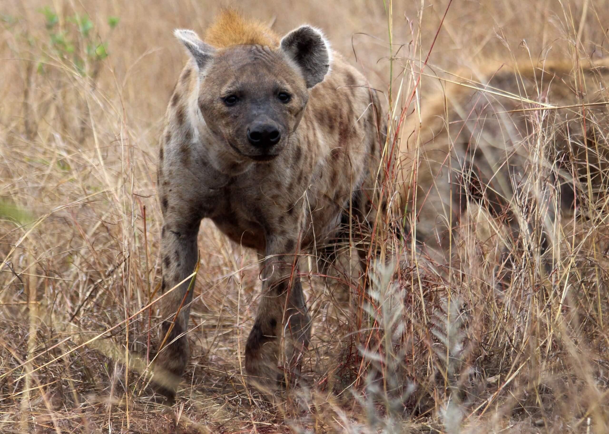Une hyène.