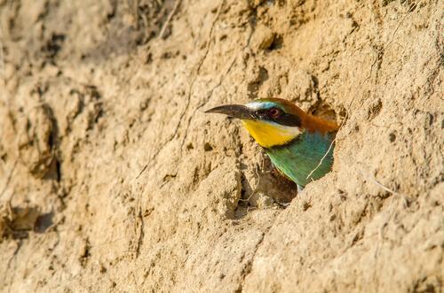 Abejaruco: hábitat