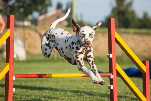 Mejora la agilidad de tu perro con estos ejercicios