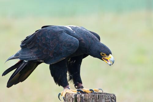Águila de Verreux