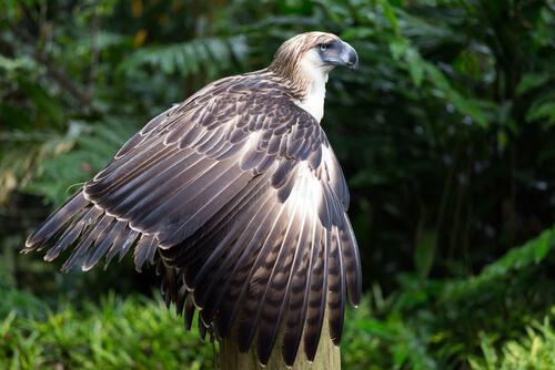 Águila monera filipina