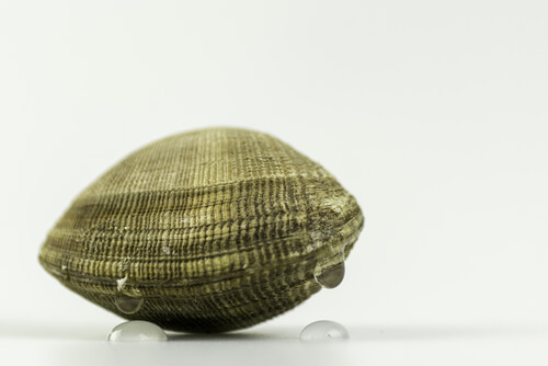 Almeja japónica o Ruditapes phillippinarum