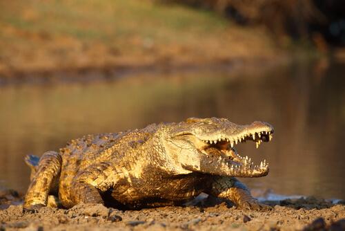 Animales más peligrosos de África: cocodrilo del Nilo