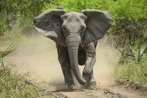 Animales más peligrosos de África: elefante