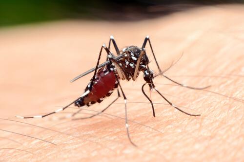 Animales más peligrosos de África: mosquito