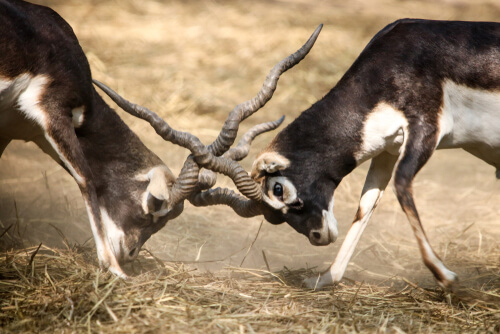 Astas y cuernos: las armas del reino animal
