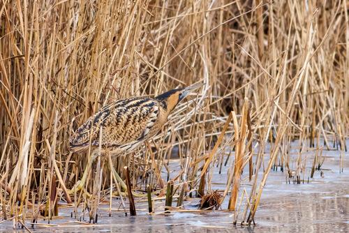 Avetoro: aves más curiosas