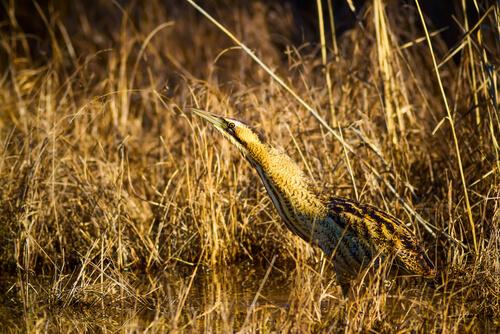 Avetoro: hábitat