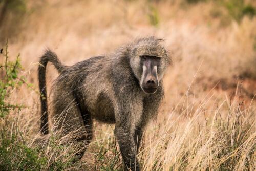 La historia de los babuinos pacíficos