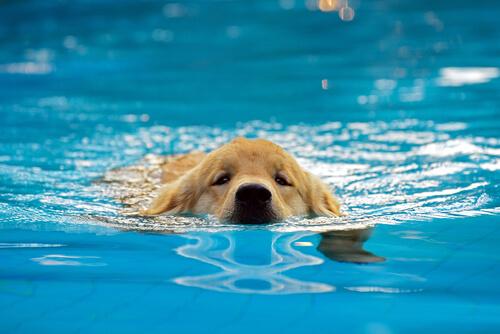 Bañar a tu cachorro en la piscina