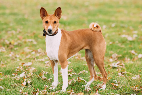 Basenji: perros menos obedientes