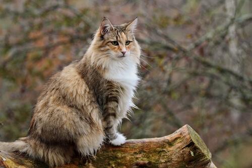 Diferencias entre el gato del bosque noruego y el mapache de Maine