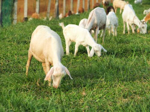 Cabras de granja