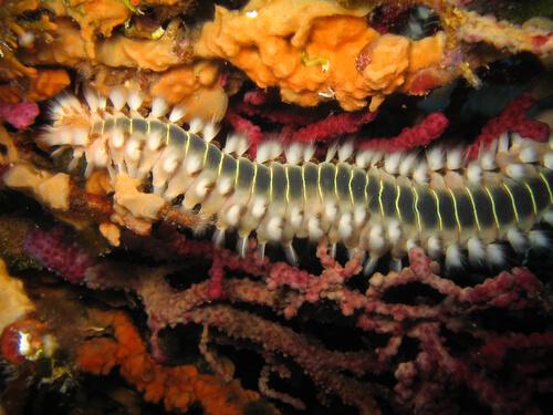 Calamar gusano: características