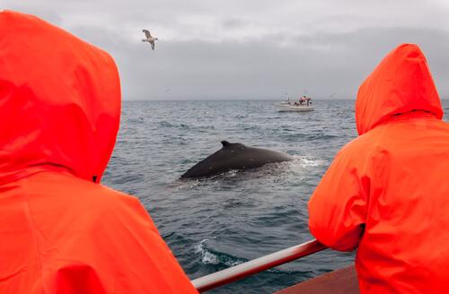 Denuncian la caza de la ballena más grande del mundo