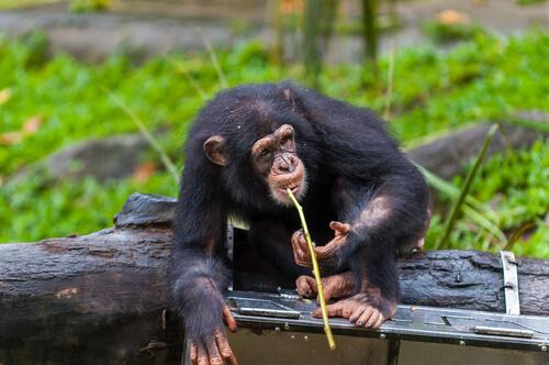 Chimpancé caza con lanza