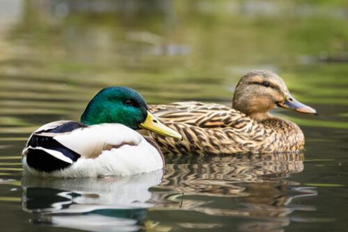Cómo construir un estanque para patos