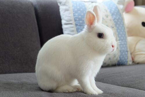 Conejo enano: comportamiento