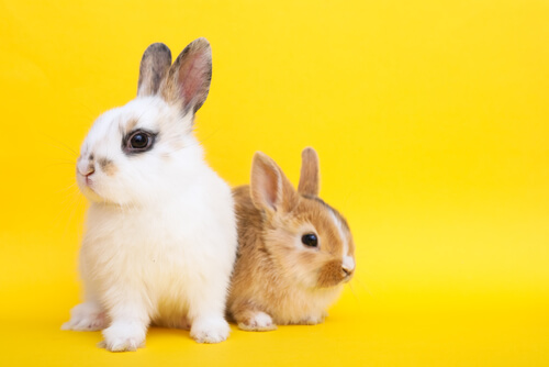 Características y cuidados del conejo toy