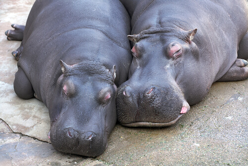Cortejo animal del hipopótamo