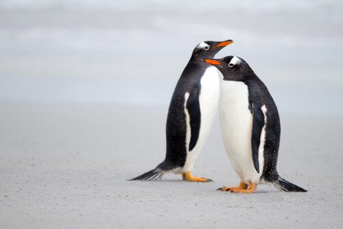 Cortejo animal del pingüino Gentú