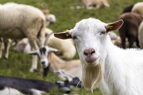 Diferencias de cría entre ovejas y cabras